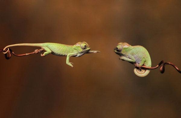 baby-chameleons-photo---one