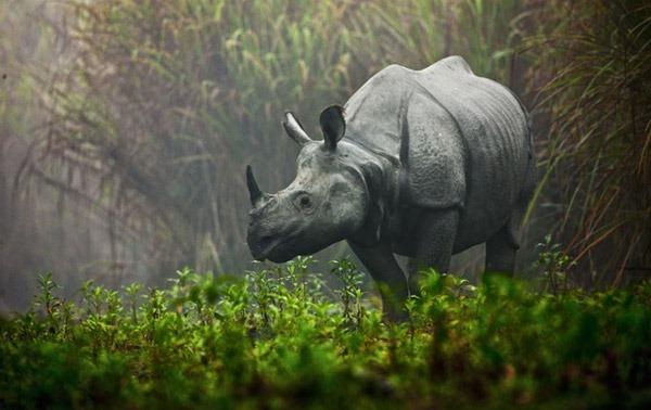 Rhino-in-the-mist