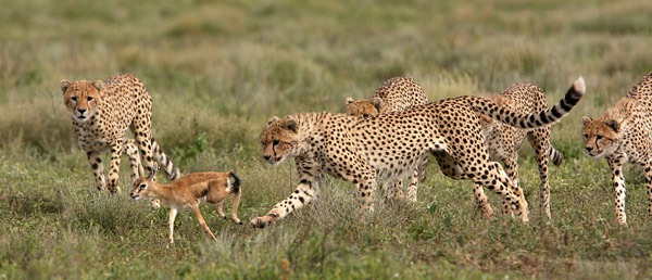 gazelle-and-cheetah