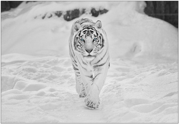 white-tiger-in-snow